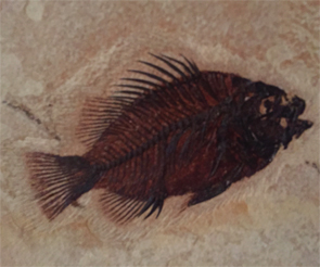 A 50 million-year-old Priscscara fossil fish from the Green River formation in Wyoming.