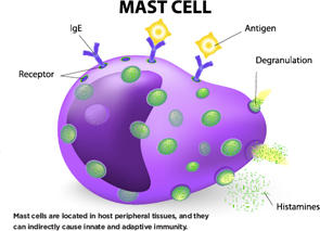 Mast cells are located in host peripheral tissues, and they can indirectly cause innate and adaptive immunity.