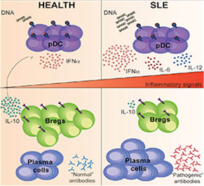 """Graphical Abstract Highlights: """"The signals required for Breg cell differentiation in humans are currently unknown. Mauri and colleagues show that plasmacytoid dendritic cells, via the provision of IFN-a, govern the differentiation of immature B cells into regulatory B cells that restrain inflammation."""""""