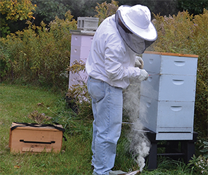 Dr. Ritchlin, smoking one of his hives. The smoke calms the bees and creates an opportunity for the beekeeper to open the beehive and work while the colony's defensive response is interrupted.