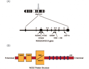 Schematic diagram of the NOD2 gene graph and protein structure.
