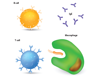This figure illustrates immune system cells, including a macrophage, T cell, B cell and antibodies.