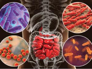 Bacteria (e.g., Bifidobacterium, Lactobacillus, Enterococcus and Escherichia coli) colonize different parts of digestive system.