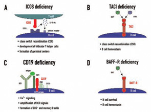 Figure 1: Four genetic defects in cell surface receptors on lymphocytes in CVID patients. The figure highlights their cellular expression pattern, interacting molecules, and major biological functions.