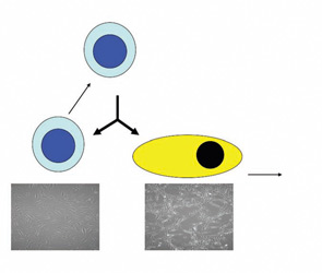 Figure 1: A true stem cell divides into two daughter cells, one of which remains stem and replenishes the stem cell pool, while the other differentiates into a progenitor cell that may further divide and differentiate to replenish a whole tissue compartment.