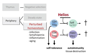 Figure 1: Helios in the Function of Treg & Its Effect on Autoimmunity