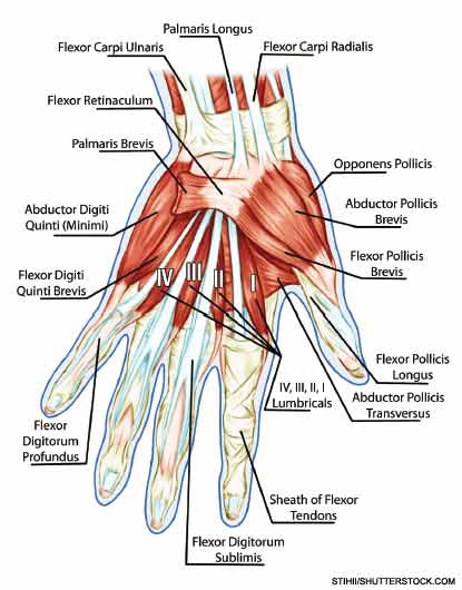 Anatomy of muscular system of the hand.