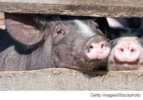 Our patient worked with pigs, an important clue to the eventual diagnosis.