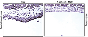 Figure 2: A-769662 inhibited MSU crystal-induced inflammatory responses in wild-type mice.